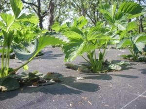 agrowłóknina truskawki