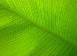 liść z grafenu