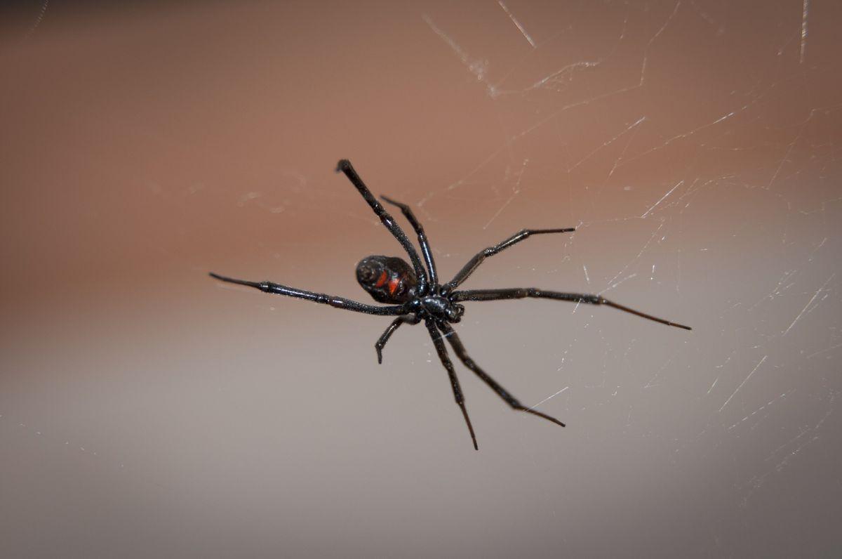 spider black widow