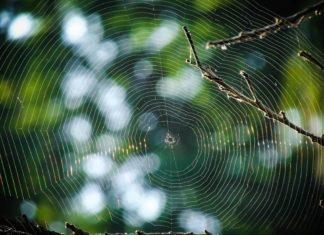 pajęcza sieć